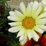 fleur_blanche_